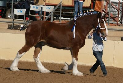 Show-Clydesdale.jpg (23981 bytes)
