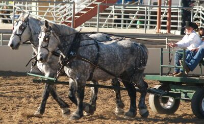 Show-Grey Percheron.jpg (33387 bytes)