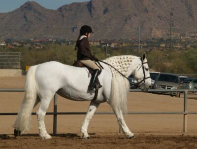 Show-White Percheron.jpg (21424 bytes)